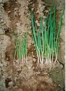 Fertilization and plant nutrition of onions
