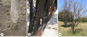 phytophthora gummosis citrus