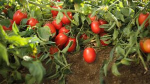 Tomatoes of Aria Grand cultivar